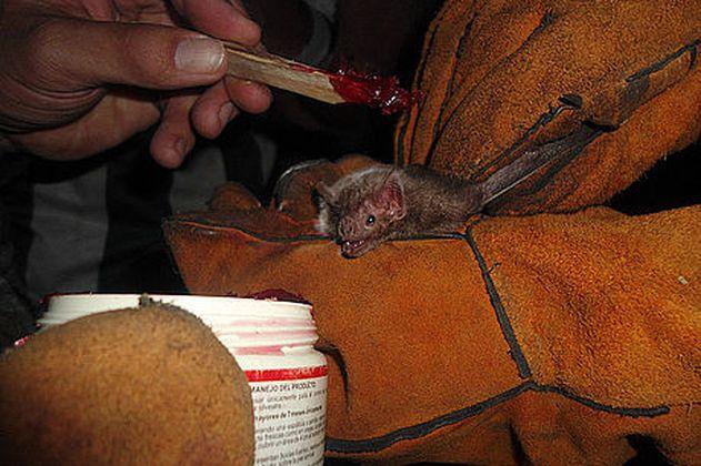 Comienza vigilancia a murciélagos en el Caribe