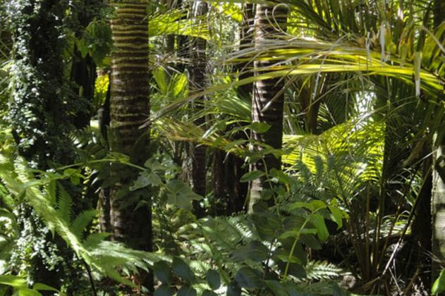 Una nueva especie de árbol fue descubierta en la Amazonía