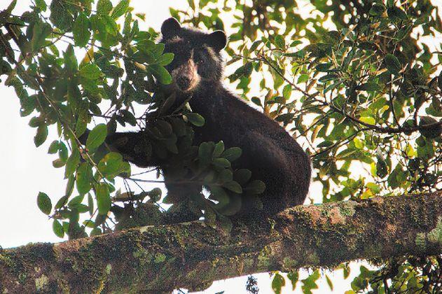 Video: un tierno bebé oso fue grabado jugando en el Parque Nacional Chingaza