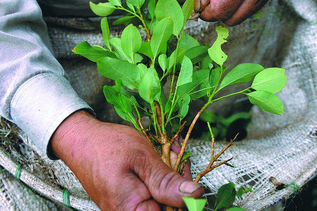 Cultivos de coca en Putumayo: una bomba de tiempo