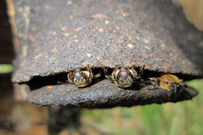 Melipona  costaricensis ( antes Melipona eburnea). Nombre común: Boca de sapo, sapita, Ala,sapa,ala,guare.