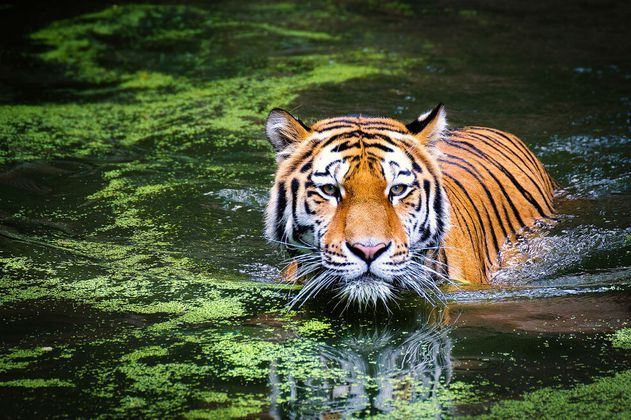 Dentro de 50 años los tigres de bengala podrían desaparecer por el cambio climático