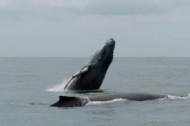 Cerca de 3.000 ejemplares ya se encuentran en los Parques Nacionales Naturales de Colombia.