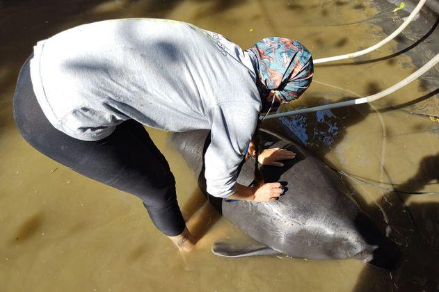 Lluvia y Moeichi, los manatíes rescatados que hoy regresarán a aguas amazónicas