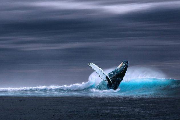 Descubren por el canto a una población de ballenas azules escondidas en el Océano Índico