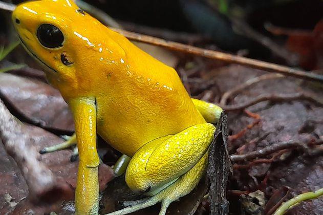 La nueva reserva forestal del Cauca que protegerá a la rana dardo dorado
