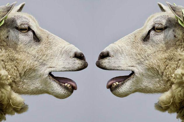 Inscriben a 15 ovejas en un colegio para evitar cierre de una clase