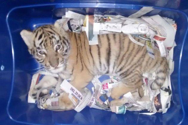 Encuentran en una caja plástica a un tigre de bengala que iba a ser enviado por correo