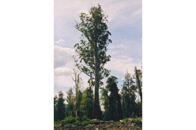 La mayoría de árboles endémicos europeos están en riesgo de extinción