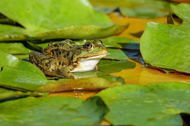 Descubren nuevas especies de rana en Perú