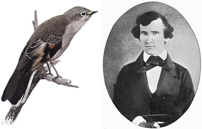 Townsend's solitaire, ave cuyo nombre común honra a  John Kirk Townsend.