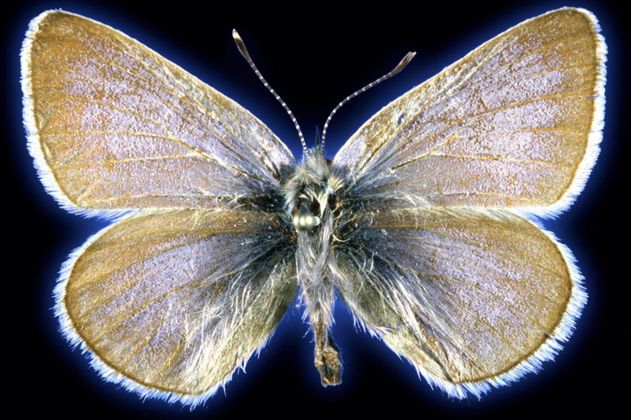 Identifican la primera mariposa en Estados Unidos extinta por actividad humana