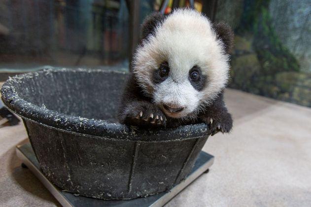 Vea estos videos de cachorros pandas (y alíviese un poco del encierro)