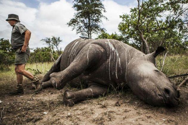 En Suráfrica se reduce la caza furtiva de rinocerontes a la mitad