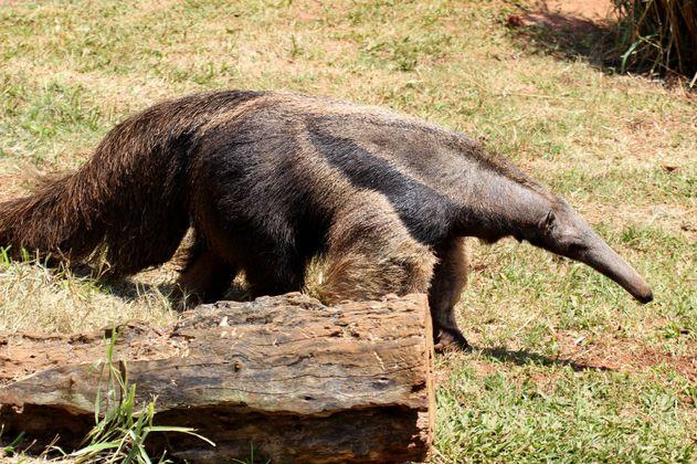 Luego de 23 años, nace el primer oso hormiguero en el Zoo de Cincinnati, en EE.UU.