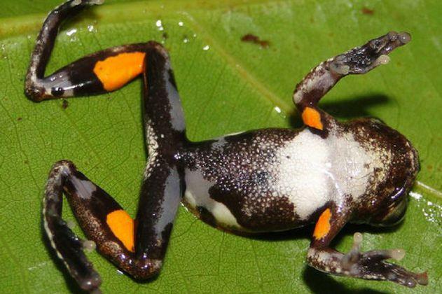 Descubierta la rana Stanley Kubrick, la naranja mecánica de la naturaleza