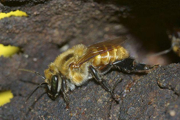 Cambio climático afectaría a las abejas angelita en Colombia