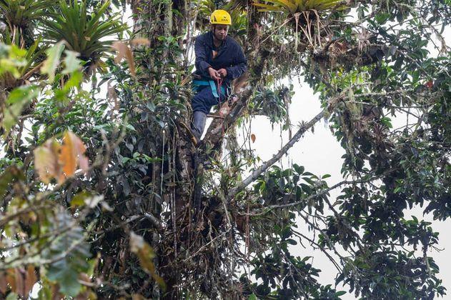 Magnolios colombianos, árboles primitivos en riesgo de desaparecer