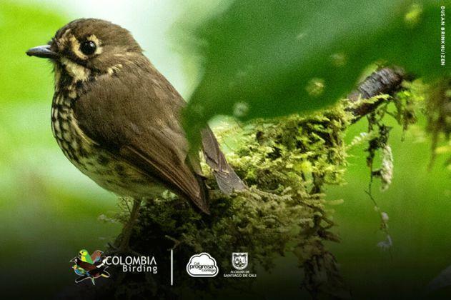 Tororoi Bailador, la nueva especie de ave descubierta en los farallones de Cali