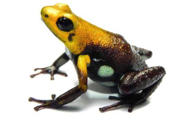 Nueva especie de rana descrita en Colombia, hallada a solo 37 km de Bogotá