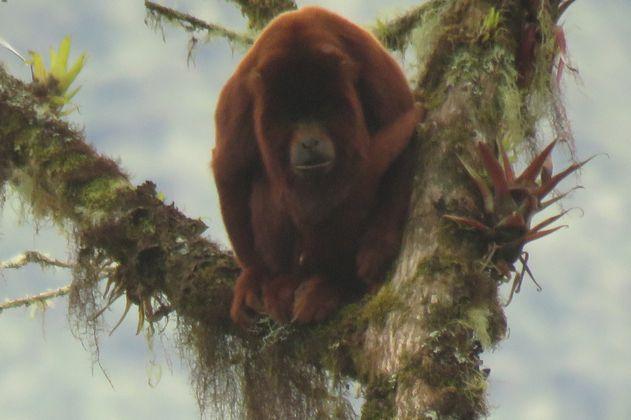 Por primera vez se registra la presencia de un mono aullador en el PNN Pisba