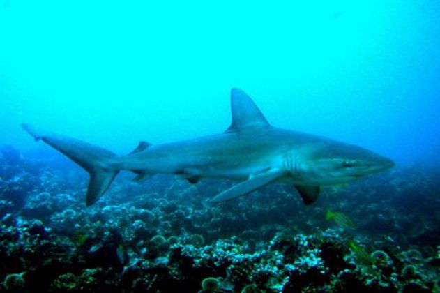 Los tiburones pueden ser víctimas de la lucha contra el COVID-19
