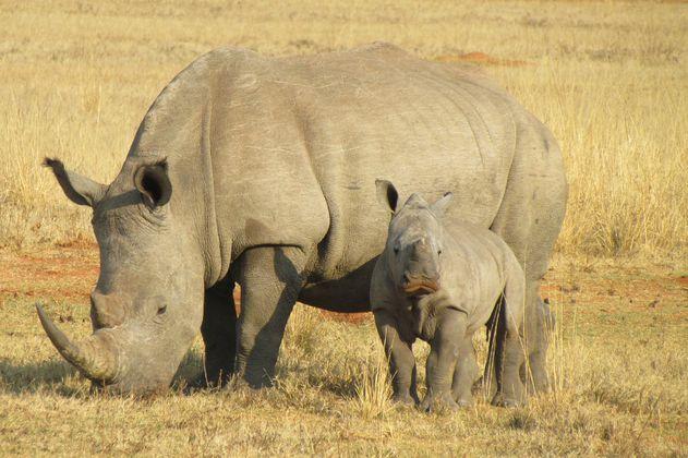 La crítica de Greenpeace a China por legalizar el uso de cuernos de rinoceronte