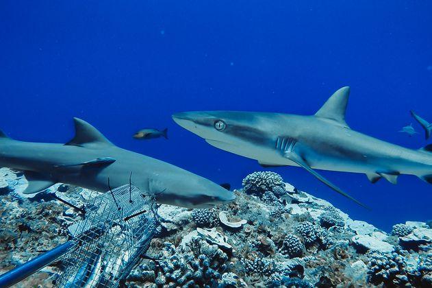 Colombia prohíbe la pesca artesanal e industrial de tiburón