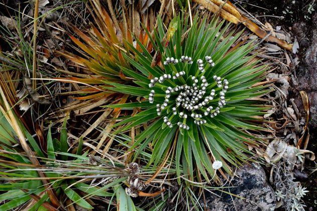 En los páramos hay más que frailejones ¡Identifica flora de páramo en tu próxima visita!