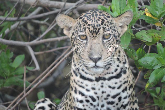 La conservación del jaguar: una especie de amores y odios
