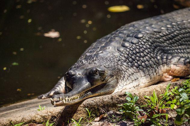 Pescadores en India se unen para salvar al cocodrilo gavial que está en peligro de extinción