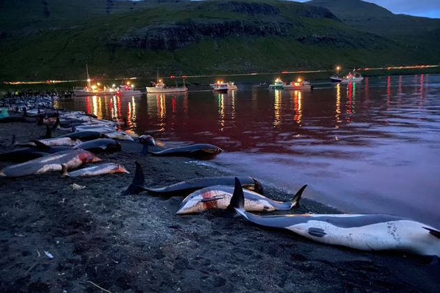 Indignación por muerte de 1.400 delfines durante festival de caza en Islas Feroe