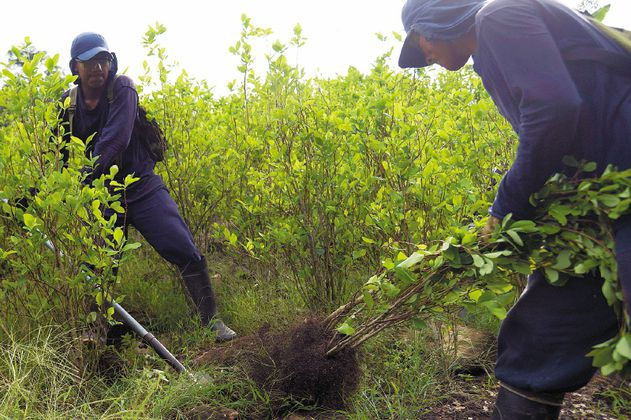 Ordenan suspender erradicación de cultivos en territorios afro e indígenas de Nariño