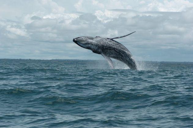Llegan las ballenas al pacífico colombiano, una experiencia inolvidable