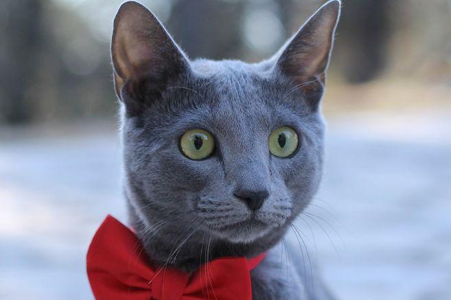 El gato azul es una de las razas más populares de gatos grises que ha ganado popularidad entre los mininos.