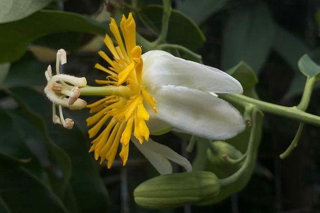 Encuentran flor colombiana que por 230 años se creyó desaparecida